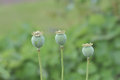 Line of Poppy seed heads Royalty Free Stock Photo