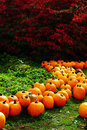 Line of Pumpkins Royalty Free Stock Photo