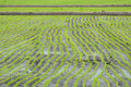 Line of rices the picture in the farm in thailand Stock Image