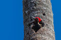 Lineated woodpecker a sticking his head out of a hole in a dead palmtree Royalty Free Stock Photos