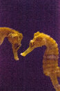 Lined seahorse Hippocampus erectus Royalty Free Stock Photo