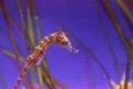 Lined seahorse Hippocampus erectus