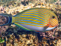 Lined surgeonfish Royalty Free Stock Photo