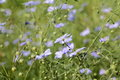 Linen medow green with blue flowers Stock Photo