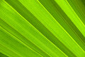 Lines and textures of green palm leaves Royalty Free Stock Photo