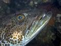 Ling cod ophiodonelongatus Fotografering för Bildbyråer