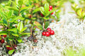 Lingon in white moss lingonberries cowberry during autumn Royalty Free Stock Image