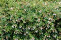 Linnaea grandiflora or Abelia grandiflora shrub with arching branches covered with oval leaves and clusters of pink tinged white