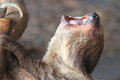 Linnaeus two toed sloth the detail of yawning Stock Photography