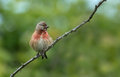 Linnet european on a blackberry bush Royalty Free Stock Images