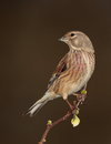 Linnet  bird. Royalty Free Stock Photo