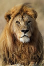 Lio male with large golden mane, Serengeti Stock Photo
