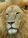 Lion 1 Royalty Free Stock Photo