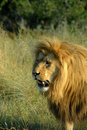 Lion Royalty Free Stock Photo
