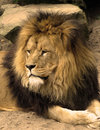 Lion Stock Photo