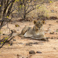 Lion in African bush Stock Photos