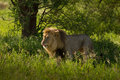 Lion appearing out of the jungle a appears woods because he is scenting a female Royalty Free Stock Image
