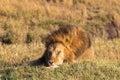 Lion. Asleep king of beasts. Masai Mara. Royalty Free Stock Photo