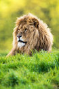 Lion backlit against a vivid green background Stock Photo