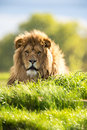 Lion backlit against a vivid green background Royalty Free Stock Images