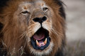 Lion barking Royalty Free Stock Photos