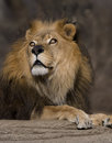 Lion with beautiful eyes majestic amber looking into the distance Royalty Free Stock Image