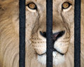 Lion behind bars Royalty Free Stock Photography