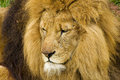 Lion big cat close up head shot of a male a the king of the jungle with scars from fights Stock Photography