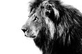 Lion, black and white Royalty Free Stock Photo