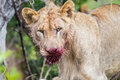 Lion with blood on face South Africa Royalty Free Stock Photo