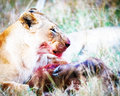 Lion With Buffalo Kill in Africa Royalty Free Stock Photo