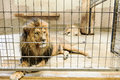 Lion in captivity beautiful panthera leo a cage Stock Images