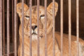 Lion in captivity wild cage Royalty Free Stock Images