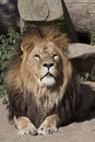 Lion cat portrait big male look to the photographer Stock Photography