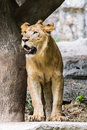 Lion in chiangmai zoo thailand northen Stock Photo