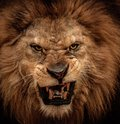 Lion in circus close up shot of roaring Royalty Free Stock Photography