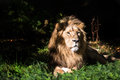 Lion in Clearing Royalty Free Stock Photography