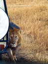 Lion close up stands next to car on a background of grass Royalty Free Stock Images