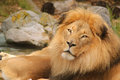 Lion closeup Royalty Free Stock Photos