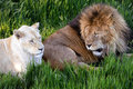 The lion couple relaxing on the grass