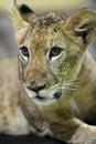 Lion cub a close up shot of a Stock Photos
