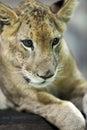 Lion cub a close up shot of a Stock Images