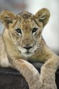 Lion cub a close up shot of a Royalty Free Stock Images