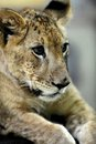 Lion cub a close up shot of a Royalty Free Stock Image