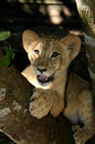 Lion cub closeup a of a juvenile in a wildlife sanctuary Stock Photography