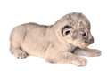 Lion cub a cute little cubs on the white background Royalty Free Stock Image