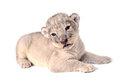 Lion cub a cute little cubs on the white background Royalty Free Stock Photo