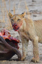 Lion cub with a kill Royalty Free Stock Photo