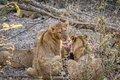 Lion cub looking back at a Buffalo kill. Royalty Free Stock Photo