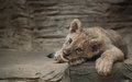 Lion cub lying on the rock Royalty Free Stock Photos